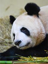 大熊猫在英国